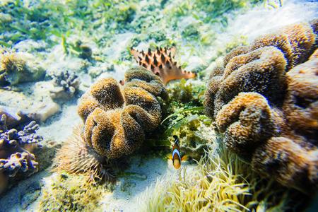 clown fish: Sea anemone and clown fish with starfish. Underwater shoot.