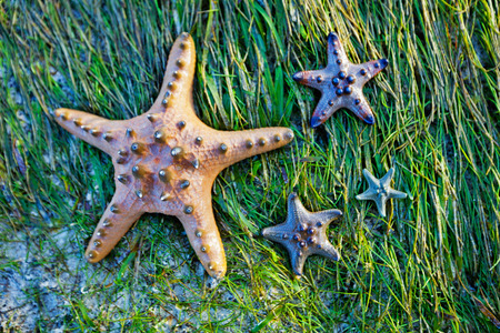 seastar: Colorful green and yellow starfishes on wet seaweed, Philippines