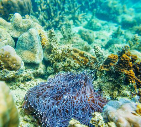 damselfish: Beautiful sea anemones. Underwater shoot in clear water.