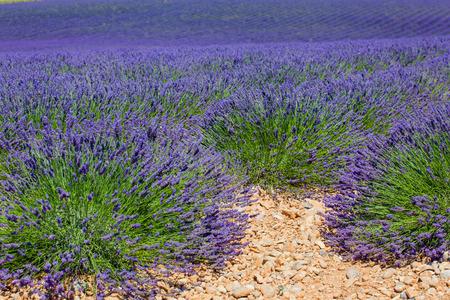lavande: Lavanda fields of the French Provence near Valensole