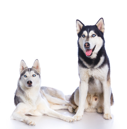 huskies: Two Siberian huskies in studio on a white background