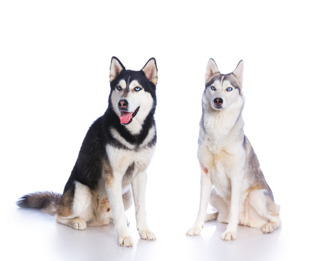 huskies: Two Siberian huskies sitting on a white background