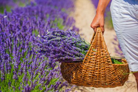 lavande: Basket with a lavender in woman hands. Lavander field near Valensole. Provence, France.