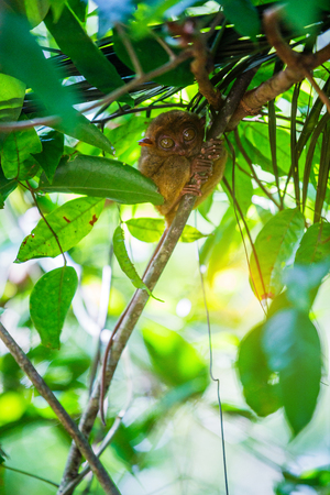 primacy: Tarsier Bohol, Philippines, closeup portrait, sits on a tree in the jungle. Stock Photo