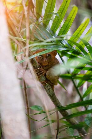 Tarsier Bohol, Philippines, closeup portrait, sits on a tree in the jungle. Фото со стока