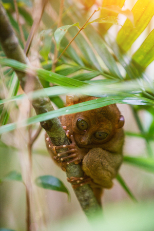 Tarsier Bohol, Philippines, closeup portrait, sits on a tree in the jungle. Stock Photo