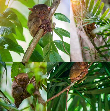 primacy: Collage of images Tarsier Bohol, Philippines, closeup portrait, sits on a tree in the jungle.