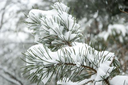 松の木の枝に降る雪。