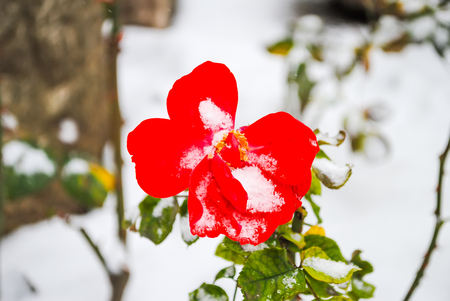 beautiful red flower in the snow during winter