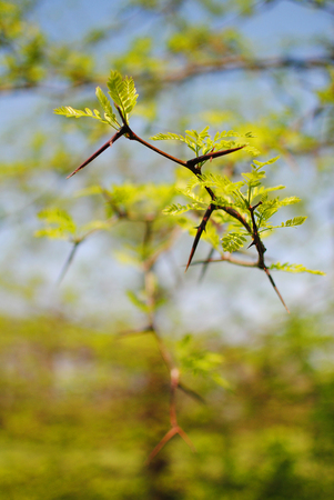 spiny tree branch dangerous to humans