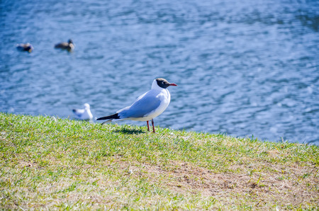 A lone seagull basking in the spring sun. Stock Photo