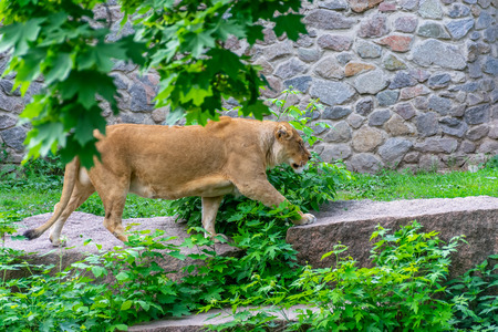 The graceful lioness lives in a picturesque zoo.