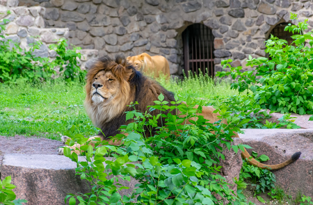 Huge lions rest on the territory of the zoo. Imagens
