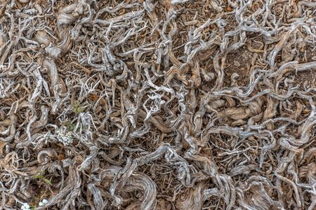 The intertwined roots of plants perish on arid soil.