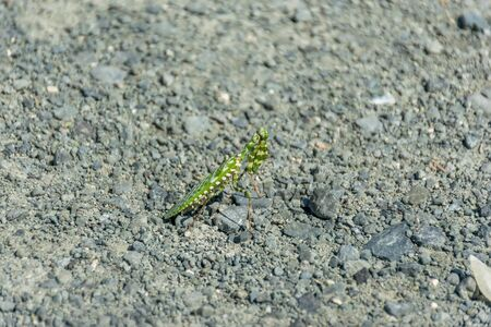 Brave green mantis is posing on the road.