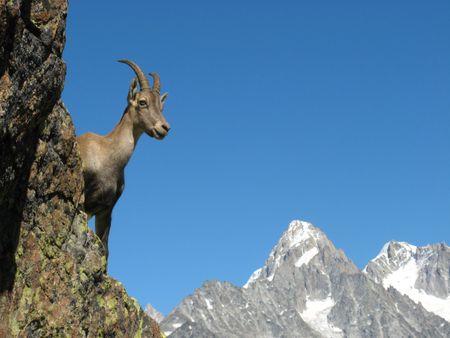 Ibex near Chamonix, France