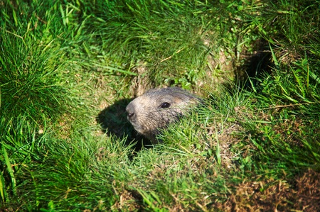 burrow: A ground hog head coming out of its burrow Stock Photo