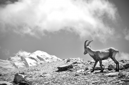 blanc: Ibex looking at Mont Blanc Stock Photo