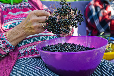 Woman pluck the fruits of elderberry to make juice from them. Stock Photo