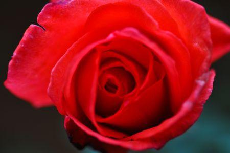 Rose of love  Stock Photo