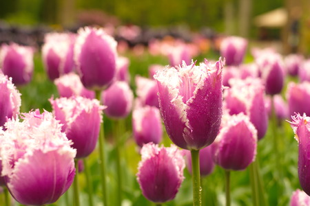drop in: purple white tulip with water drop in netherlands Stock Photo