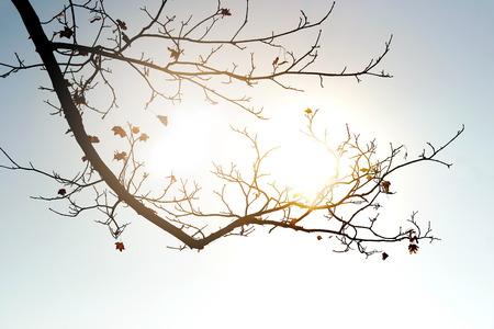 branche de silhouette d'érable qui tombe des feuilles en automne ou en automne avec fond de nature lumière du soleil