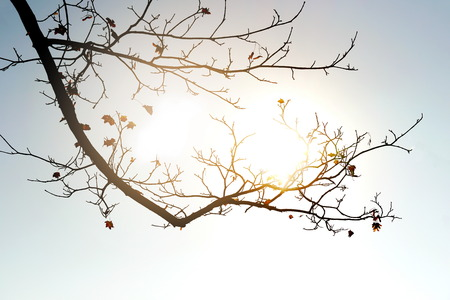 silhouette branch of maple tree falling leaves in fall or autumn season with sun light nature background