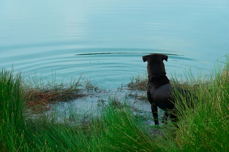 back of standing black dog near the lake water with green grass nature background