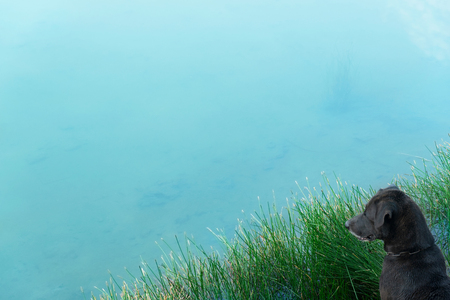 black Labrador dog siting beside green reed with blue lake water in summer nature lanscape background