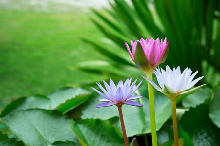 three pink purple white water lily flower blooming in summer time with green leaf nature background Imagens