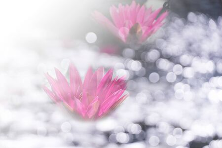 two red pink water lily with white blur bokeh light on water in morning summer light nature garden background Imagens