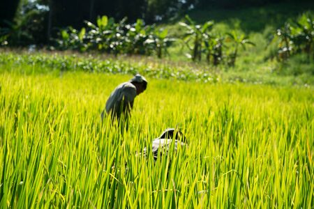 organic green yellow rice paddy field with blur working farmer Asia natural background