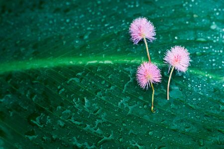 small pink flower on wet rain drop dark green leave for exotic natural background