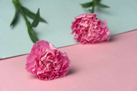soft natural pink carnation  flower with leave pastel blue banner wedding background