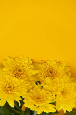 blooming summer yellow chrysanthemum flower and green leave on vivid nature background Stockfoto