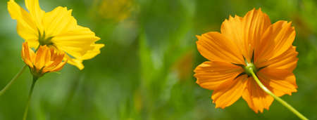 colorful bright yellow orange flower cosmos on spring green nature background