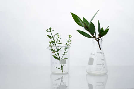 dark green leave in biotechnology science research laboratory with flask beaker and water in white  background