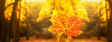 yellow orange autumn maple leaf in forest natural in sunlight morning landscape nature banner background Imagens
