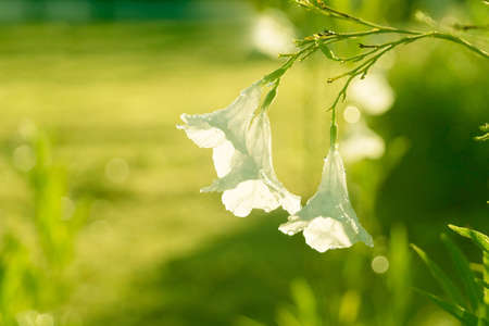 water dew on white flower with morning sunlight in green summer nature garden background