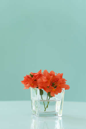 natural fresh colorful red orange flower in glass vase on table with blue green wall background
