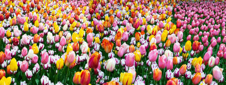 yellow pink white colorful natural tulip flower garden field in spring nature banner background