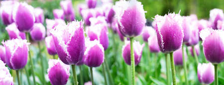 water drop on purple white colorful natural tulip flower garden field in spring nature banner background
