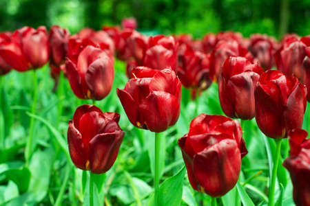 colorful dark red natural tulip flower with green leave field in spring for nature background Imagens - 165376826