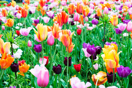orange purple pink white colorful natural tulip flower and green leave field in spring nature  background Imagens - 165376833