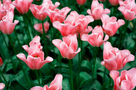 red pink colorful natural tulip flower garden field in spring nature background Imagens