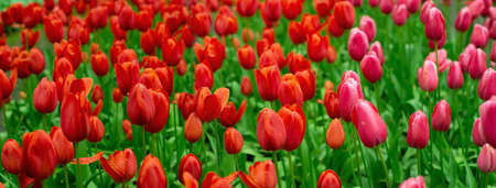 red pink colorful natural tulip flower garden field in spring nature banner background Imagens