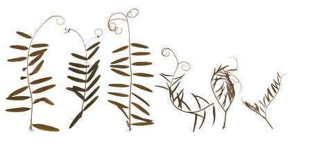 쥐 완두콩을 말리고 말린 것. 흰색 배경에 고립. scrapbooking, floristry (oshibana) 또는 식물 표본 상자에서 사용하십시오. 스톡 콘텐츠