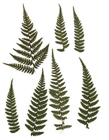 고비 건조 및 말린. 흰색 배경에 고립. scrapbooking, floristry (oshibana) 또는 식물 표본 상자에서 사용하십시오.