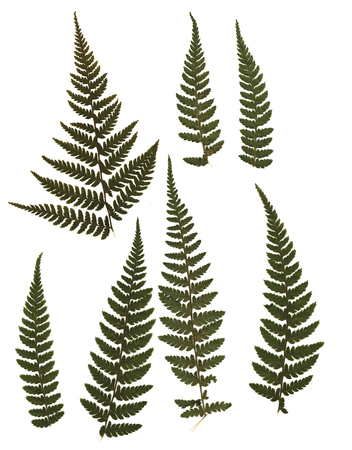 Pressed and dried fern. Isolated on white background. For use in scrapbooking, floristry (oshibana) or herbarium. Stockfoto