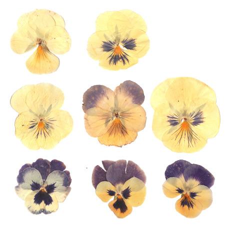 Pressed and dried buds flower of pansies. Isolated on white background. For use in scrapbooking, floristry (oshibana) or herbarium. Stockfoto
